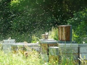 notre rucher en pleine activité