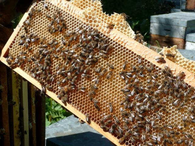 quand le nectar devient du miel !