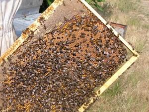 nos abeilles sur un beau cadre de couvain