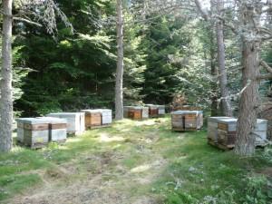 un de nos ruchers sur la miellée de sapin