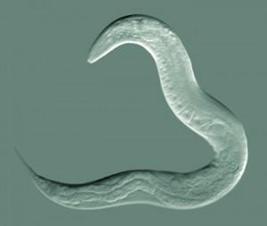 nematode Caenorhabditis elegans