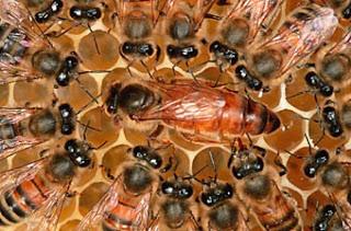abeille reine et gelée royale